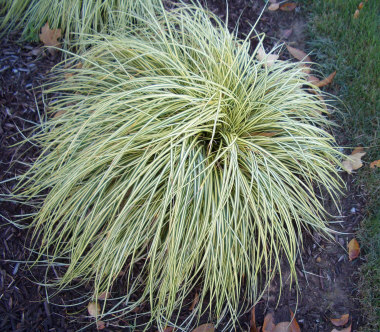 CAREX oshimensis'Evergold'Striped Weeping Sedge - Sun or partial shade. Fine textured ornamental grass. Green margins with creamy yellow center. Height 12 to 18 inches.
