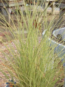 MISCANTHUS sinensis 'Morning Light'Morning Light Maiden Grass - This green-white variegated variety of Miscanthus has a narrower leaf and tighter growing habit than the 'Variegatus' variety shown below. Height 4 to 5 ft.