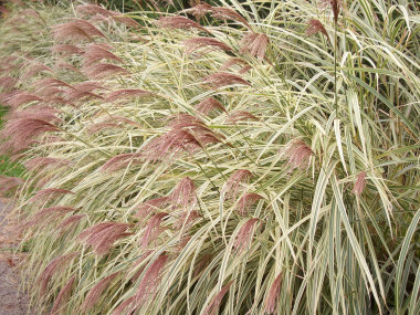 MISCANTHUS sinensis 'Variegatus'Variegated Maiden Grass - Prefers full sun. Green and white leaf variegation.Plumes in the Fall. Height 5 to 6 ft. This grass will widen and sometimes flop over toward the end of the season, so considering tying it with string to act as a 'belt.' This grass should be divided (split in half) every few years.