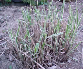 Ornamental grass clumps should be cut back in early winter or early Spring to remove brown foliage. If left on through the winter, brown foliage can break-off and become messy, making early winter Bob's preferred time for cutting them back. Here we see the start of spring growth.