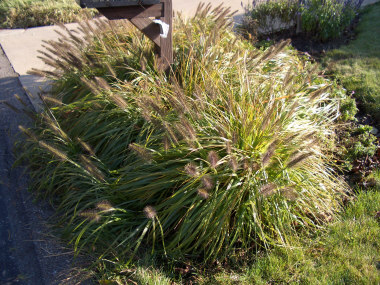 PENNISETUM alopecuroidesFountain Grass - Sun to partial shade. Dense growing grass with cylindrical plumes mid-summer into Fall. Height 2 to 4 feet.