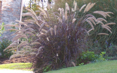 PENNISETUM setaceumPurple Fountain Grass - Not winter hardy in the Northeastern and Midwest US. Prefers full sun. Striking purple leaves. Purplish-pink plumes appear from mid-summer until frost. Height 3 to 4 feet.