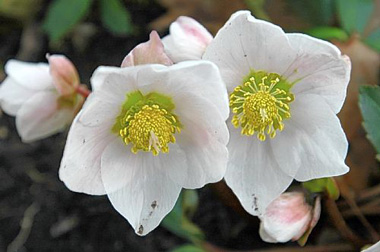 Hellebores - 'The Christmas Rose'