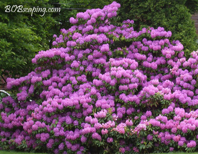 Large Purple Rhododendron    Standing 12 feet tall and spreading 20 feet laterally, this huge purple Rhododendron is a real 'show stopper' in springtime!