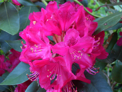 Red Rhododendron - AmericanDark red flower.HoldenRose red flower.Nova ZemblaDark red flower. The hardiest red variety in Pennsylvania gardens.