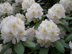 White Rhododendron - CatawbiensePure white flower.ChionoidesWhite flower with yellow center.Cunningham'sWhite flower with pale yellow center.