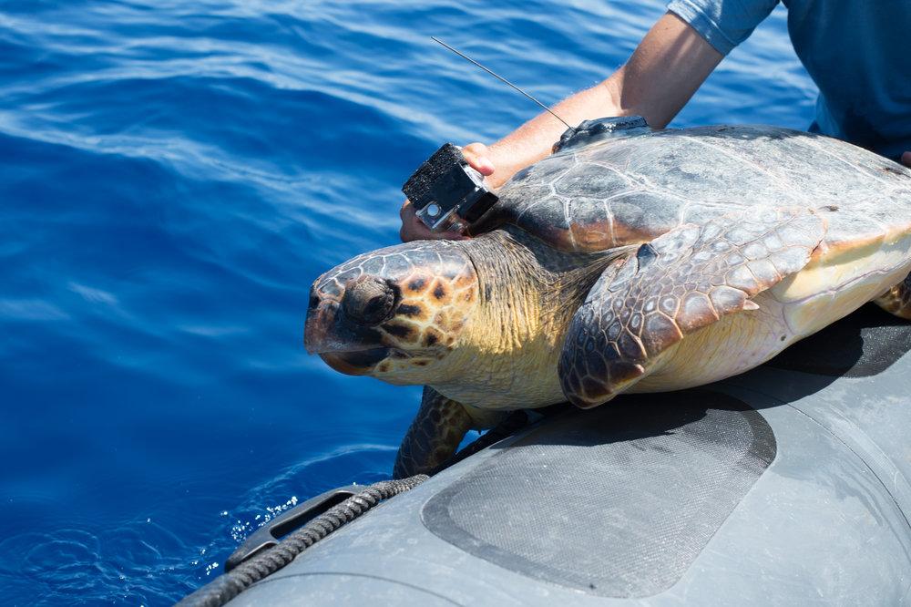 SEGUIMIENTO DE LAS ESPECIES EN AGUAS ABIERTAS - Nuestros esfuerzos de investigación para conservar las tortugas bobas se extienden a través de diferentes océanos y países – comprometiéndonos a trabajar con los gobiernos, los pescadores y los servicios de protección de vida silvestre con el fin de ayudar a proteger el ecosistema. Sin embargo, nuestras mejores aliadas son las propias tortugas, que se convierten en oceanógrafas, proporcionándonos datos únicos sobre sus hábitos de vida a través de las marcas satelitales.