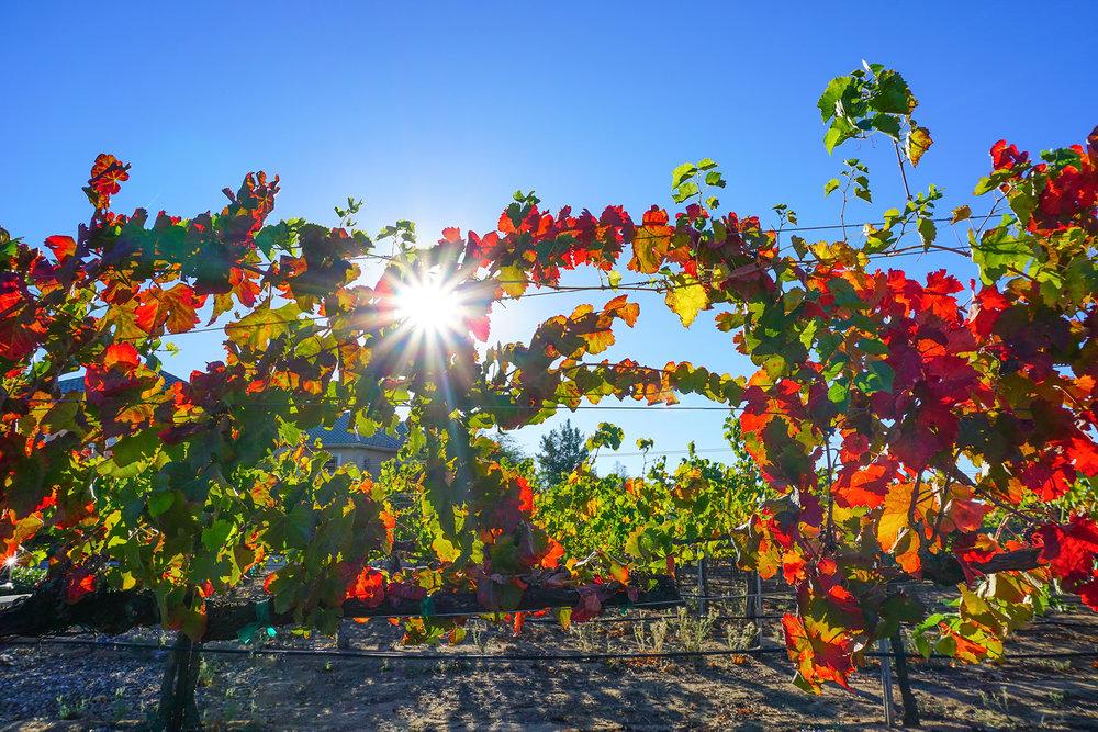 Fall Vineyards at California Wine Country