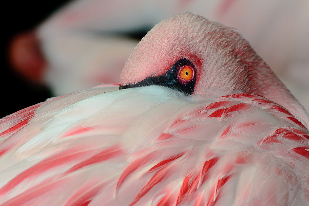 Second Place Winner:  Rosa Flamingo  by Michael Jaster