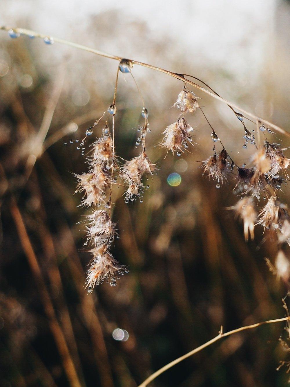 Ellie Beck Petalplum blog grass seed dead with dewdrops.JPG