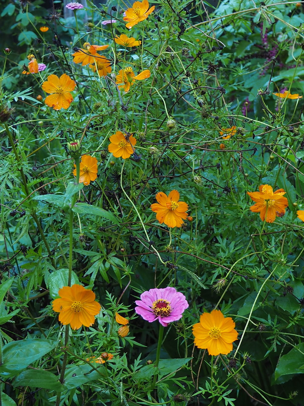 Pink zinnia and orange cosmos