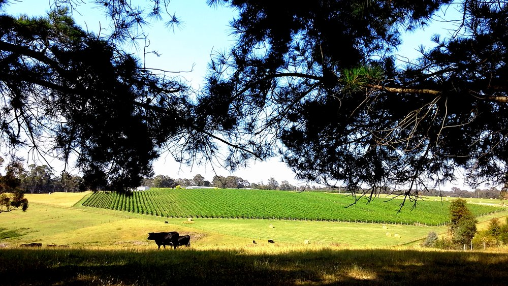 Vineyard for Banner.jpg