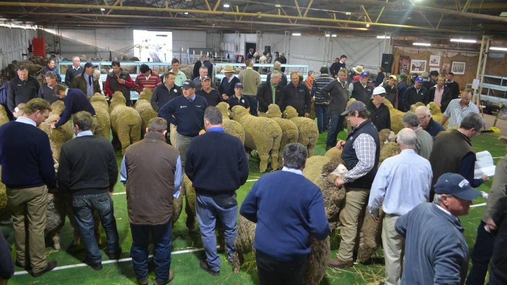 hay sheep show.jpg
