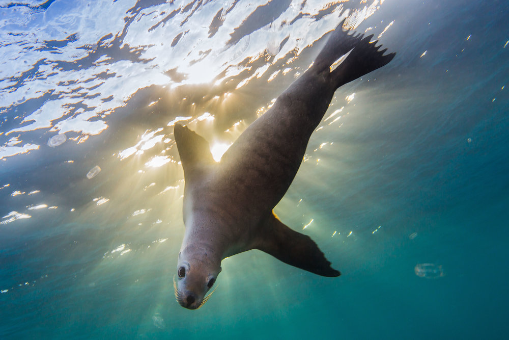 Australian Sea-lion - Hopkins Island, SA-6-BL.jpg