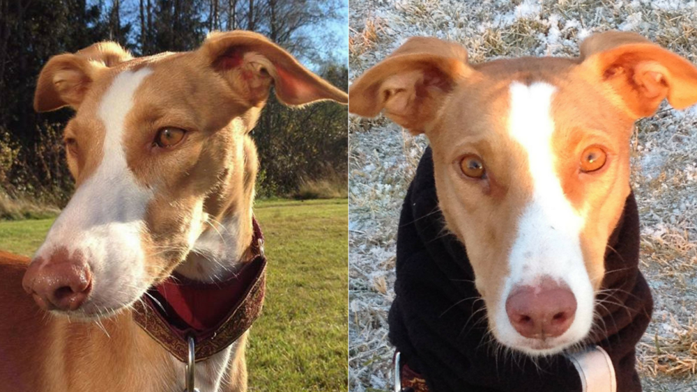 """Lilli Norrman with Podenco Nevis   Nevis now lives in Finland, enjoying all seasons  """"I first started looking for a podenco to adopt in the spring of 2016. I wanted to find the best possible place to adopt from. I did not want to adopt a podenco who was much traumatised and in horrid, cramped living conditions because it would be my first! Then I happened to come across on Hope for Podencos. It seemed perfect! Only problem was that I didn't know if they would adopt a pod to Finland? I contacted Irene and she answered yes, so the next step was to fill in an application. I did that, and in it I specified what kind of dog we were looking for. She found three for me to consider. After chatting about them I fell in love with Nevis. He came to Finland in mid-September 2016.I am so happy with every stage of the adoption.I feel I made the best decision with Irene's help. I love staying in touch with Irene & Steve and should I have any questions about Nevis I know I can turn to her for advice.I trust her experience and I am in awe of her dedication""""."""