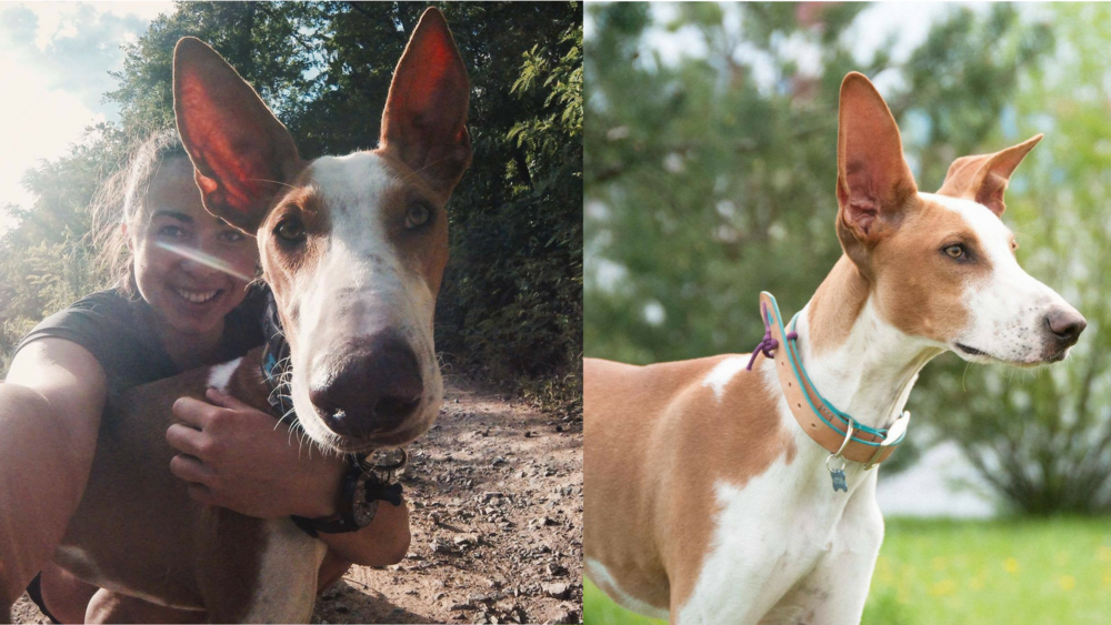 """Camille Paris and Podenco Etorre   Podenco Puppy Etorre was handed over to the shelter by a hunter. If he wouldn't have been rescued by us, he would have died of PARVO. Instead he is living the good life in Czech Republic. Within days he was doing canicross and loving it.  """"I've always been very sensible to the cause of shelter dogs, trying to make the difference on my own scale. The horrendous conditions of podencos and galgos in Spain wasn't unknown to me, so it seemed natural to have a look more into it when I started to look for a faster dog to join my pack and race in bikejoring with him...  Being the first from Czech Republic, Irene was quite hesitant at the begining, but I can never thank her enough for the leap of faith she finally decided to take.  Etorre is one of a kind; very close to you yet very independent at the same. Irene's devotion and work running Hope of Podencos is admirable, having saved so many lives already, and yet many more to come!"""""""