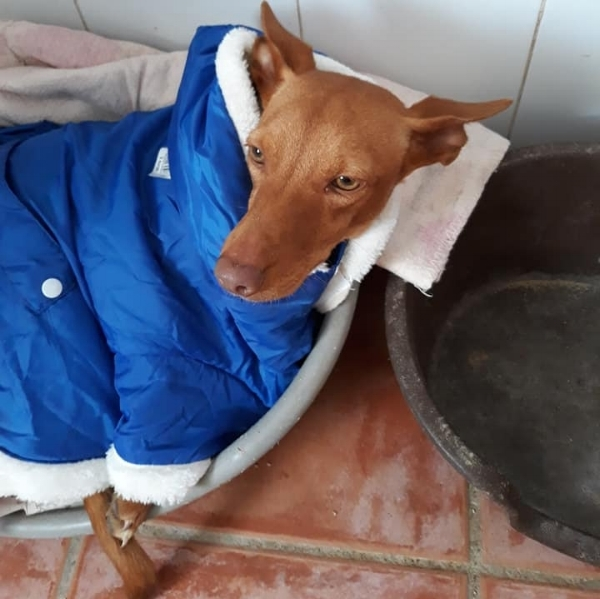 Cruz, a Podenco Andaluz is snuggled under blankets in the dog kitchen
