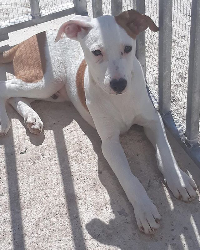 Handsome Cupid enjoying the sunshine ☀️ He is up for adoption through no fault of his own 🙏 . Please get in touch if you are struck by Cupid's arrow 💘💘 hopeforpodencos@outlook.com . . . #cupid #reindeerpup #adoptable #foradoption #adoptdontshop #podencolove #podencopower #instapodenco #podenco #podencomix #heartnose #hope #love #hopeforpodencos