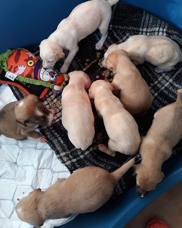 Amor's babies have started to eat solid food 😍❣️ . . If you would like to sponsor any of our puppies while they are being cared for at the centre, please consider becoming a podparent! 💌 We have created a separate form on our website outside of our virtual adoption form as many podparents were getting lost. ☹️ For only 10 euros per month, you will have exclusive access to a podparents webpage and receive regular updates every couple of weeks about the your puppy's litter. 💶✨ . . . #amorspuppies #podencopuppies #podenco #adoptdontshop #podencolove #podencopower #instapodenco #podparentsneeded #pleasehelp #podencorescue #dogrescue #hope #hopeforpodencos