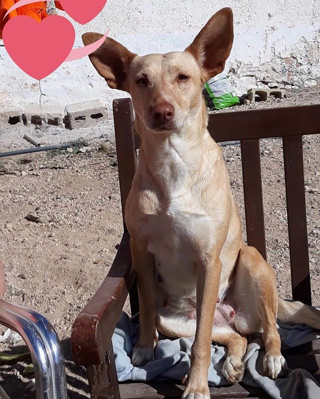 Beautiful Bego is still waiting for her Forever Home 🏡 She is a sweet Podenco Andaluz, about 40cm at the shoulder and around 3 years old. She gets along well with all dogs and is so affectionate 💗, let's find this sweet girl a home!! Please get in touch hopeforpodencos@outlook.com 😍 * * * #bego #podencoandaluz #adoptable #thoseears #podencolove #podencorescue #podencodecasa #ilovemydog #doglover #podenco #help #thankyou #love #hope #dogrescue #hopeforpodencos ♥️