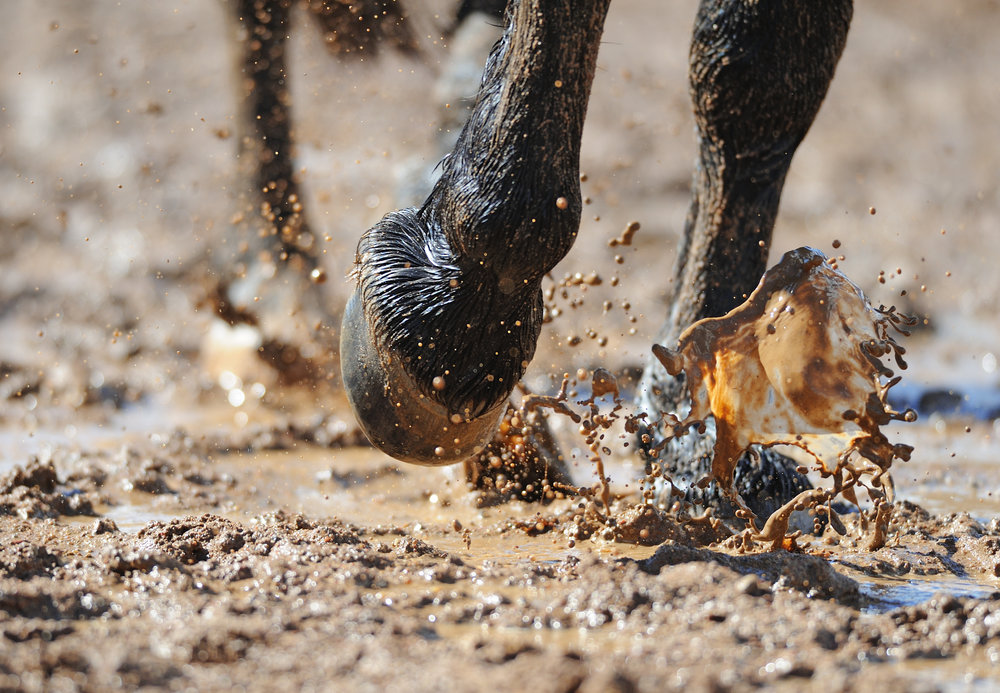 Constant exposure to moist conditions predisposes horses to the development of pastern dermatitis.
