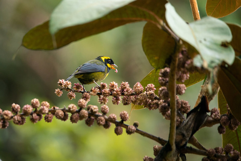 Gold-ringed tanager endemic to Colombia. Photo: Morgan Heim / WhereNext