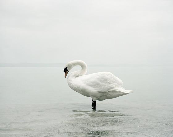 swan2.png