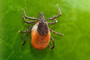 powassan-virus-blog-300x200.jpg