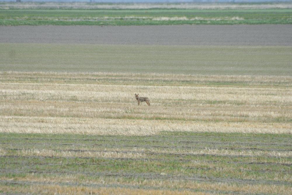 Sage Steppe -