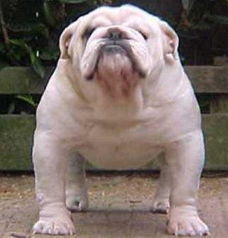 bulldogstandards.jpg