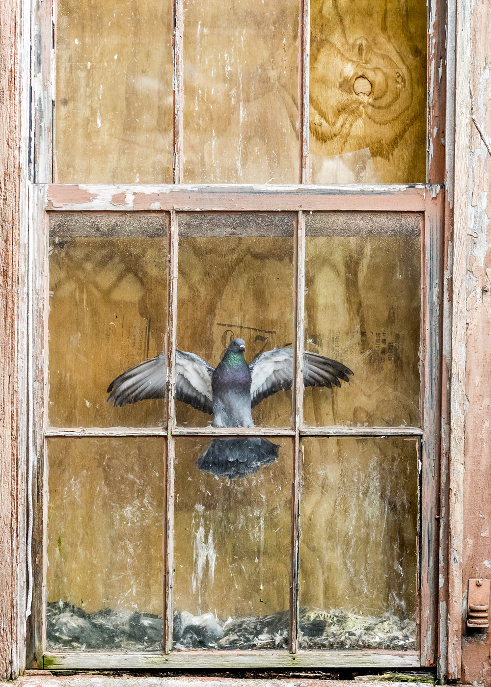 A pigeon remains trapped in a third story window in a cramped alleyway in Pomeroy, Ohio. It appears motionless as it frantically hovers above the corpses of other birds hoping to find the way out.