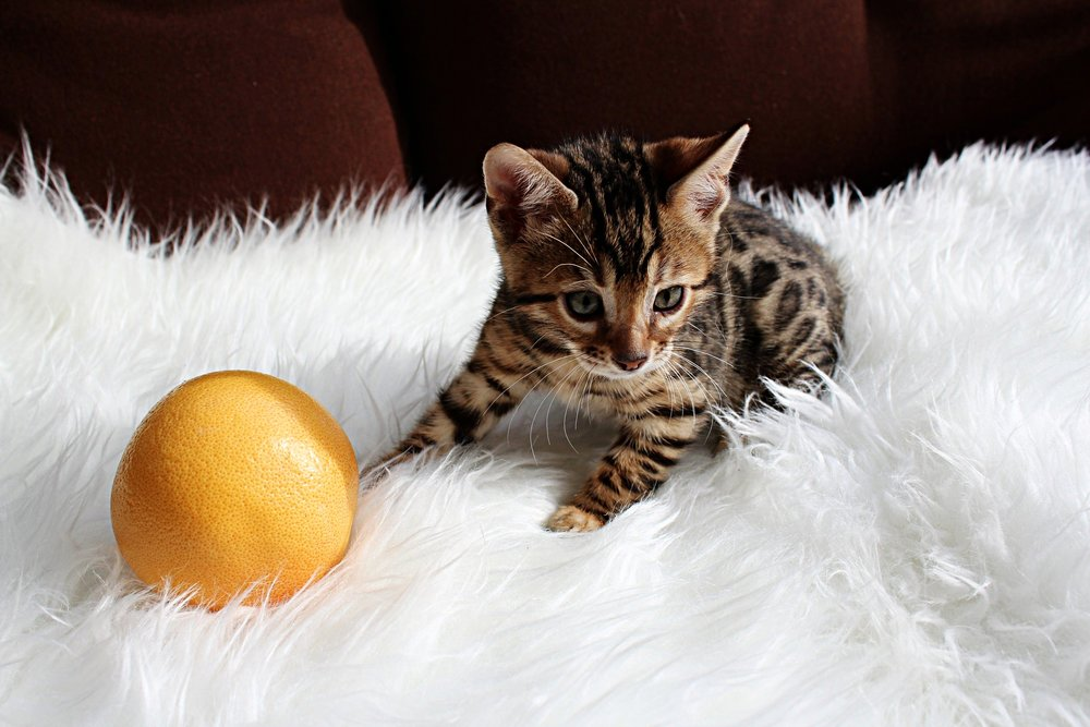 Orange- Female F5        (SOLD)  - This STUNNING little girl is out of Snickers & Leo and is available as a pet or a breeder. She is the most playful and energetic out of the litter!