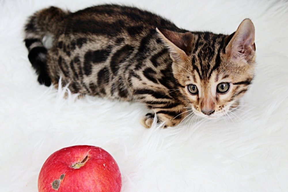 Apple- Male F5                 (SOLD) - This sweet boy is also out of Snickers and Leo and is available as a pet or a breeders.