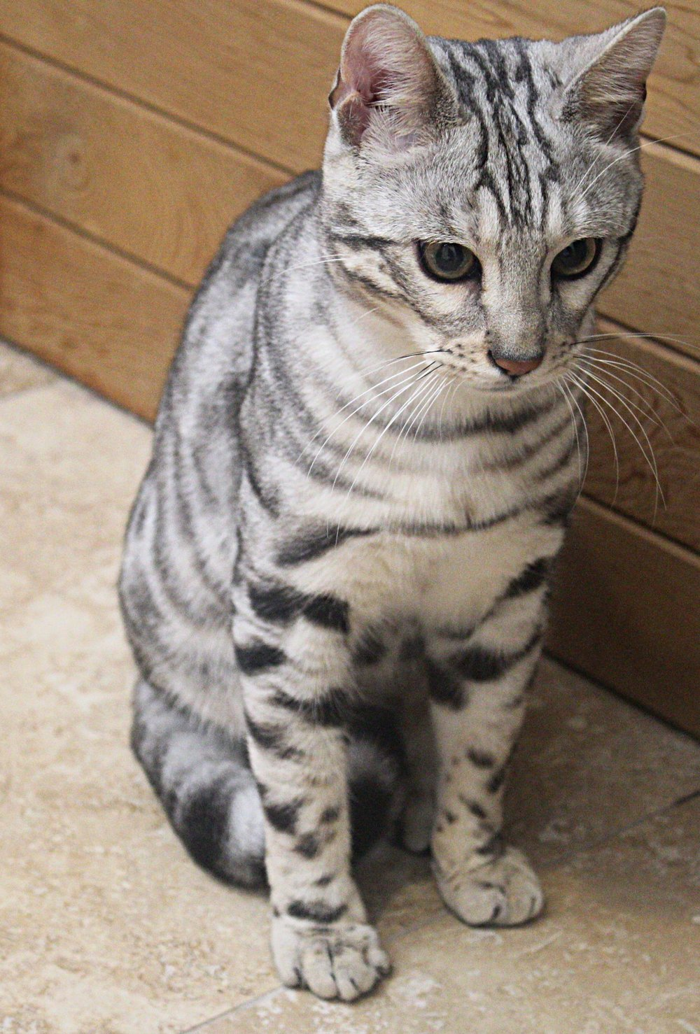 Blue cat 2.jpg
