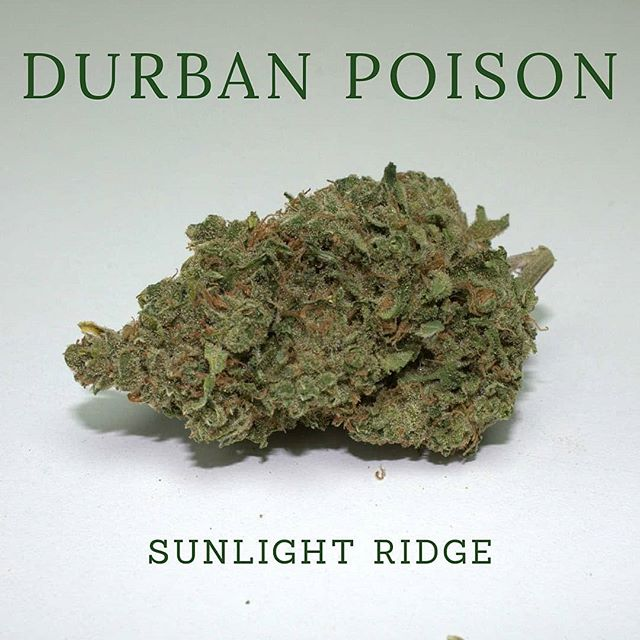Get to know our Delicious Durban Poison! This 100 % Sativa, Landrace Genetic is from the African Port city of Durban and was brought to the United States by Cannabis Activist Ed Rosenthal in the 1970s. Sativa is a natural stimulant and is perfect for putting some pep in you step!  #sunlightridge #sativa #landrace #landracesativa  #terpenes #oregongrowers #maryjane #portlandweed #madeinoregon #oregonbud #420 #thc #cannabis #medicalmarijuana #medicalcannabis #weedstagram #weedstagram420 #instahigh #weshouldsmoke #weed  #farmlife #flower #trichromes #terpenes  #cannabiscommunity  #topshelflife