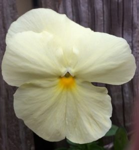 whitepansy