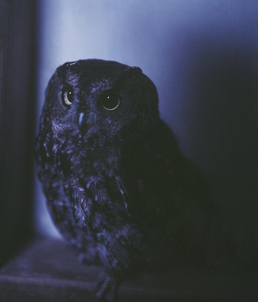 Screech_Owl.jpg