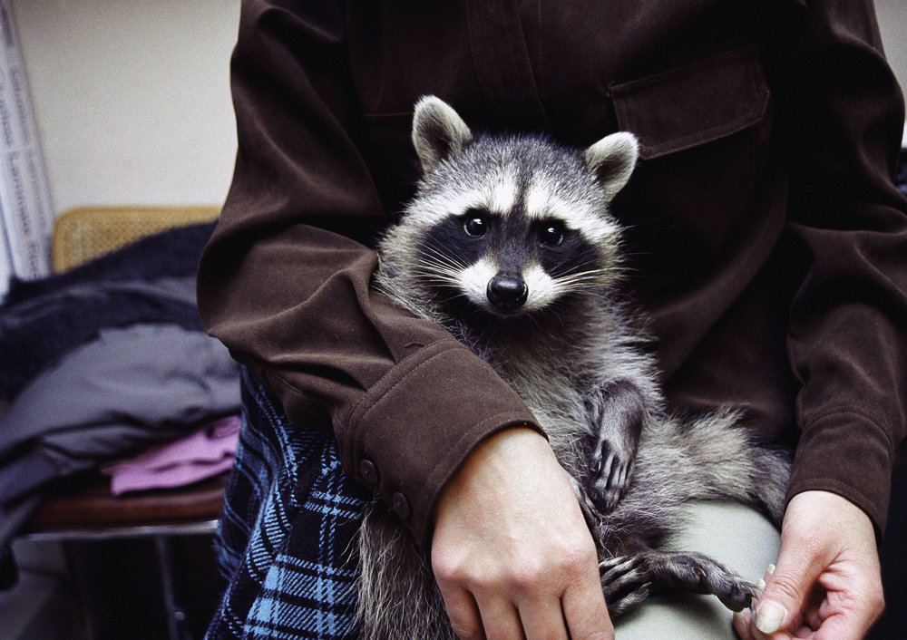 Racoon on his lap.jpg