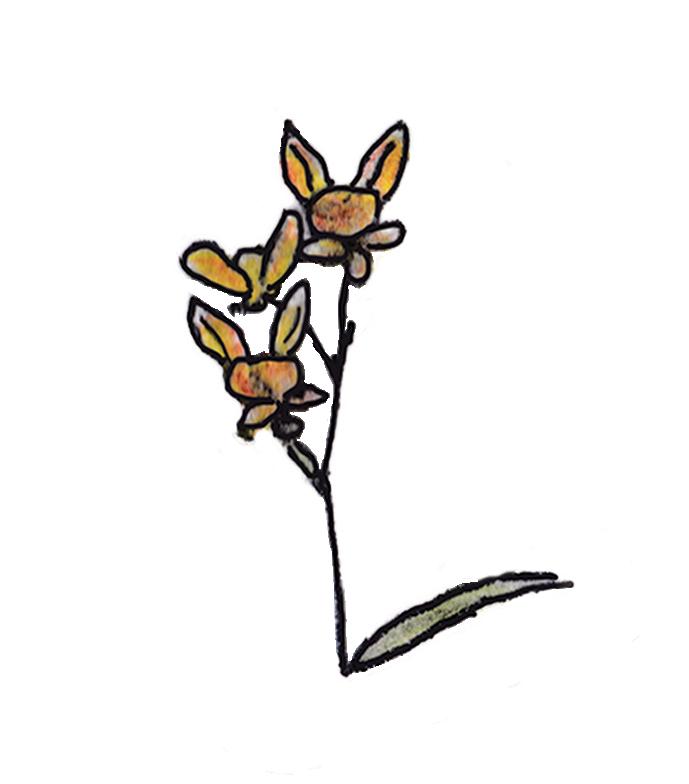 donkeyorchid.jpg