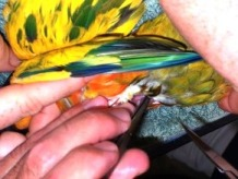 Stage four - Lorikeets are also beautifully marked
