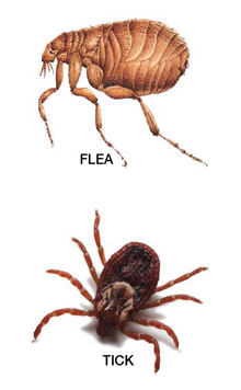 Tick-Bites-vs-Flea-Bites (1).jpg