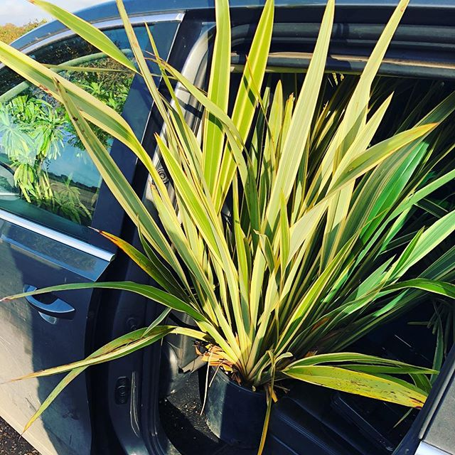 Large variegated Phormium for our jungle planting project only just fits in the car!