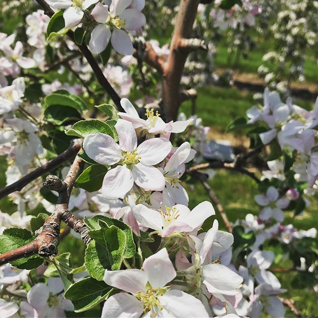 Business is a BLOOMin! We are just gettin into full bloom here in Apple Country, the bees 🐝 are hard at work and the crop is lookin great! #SunOrchard • • • #bloomreport #applebloom #appleblossom #apples #orchard #healthysnacks #bees