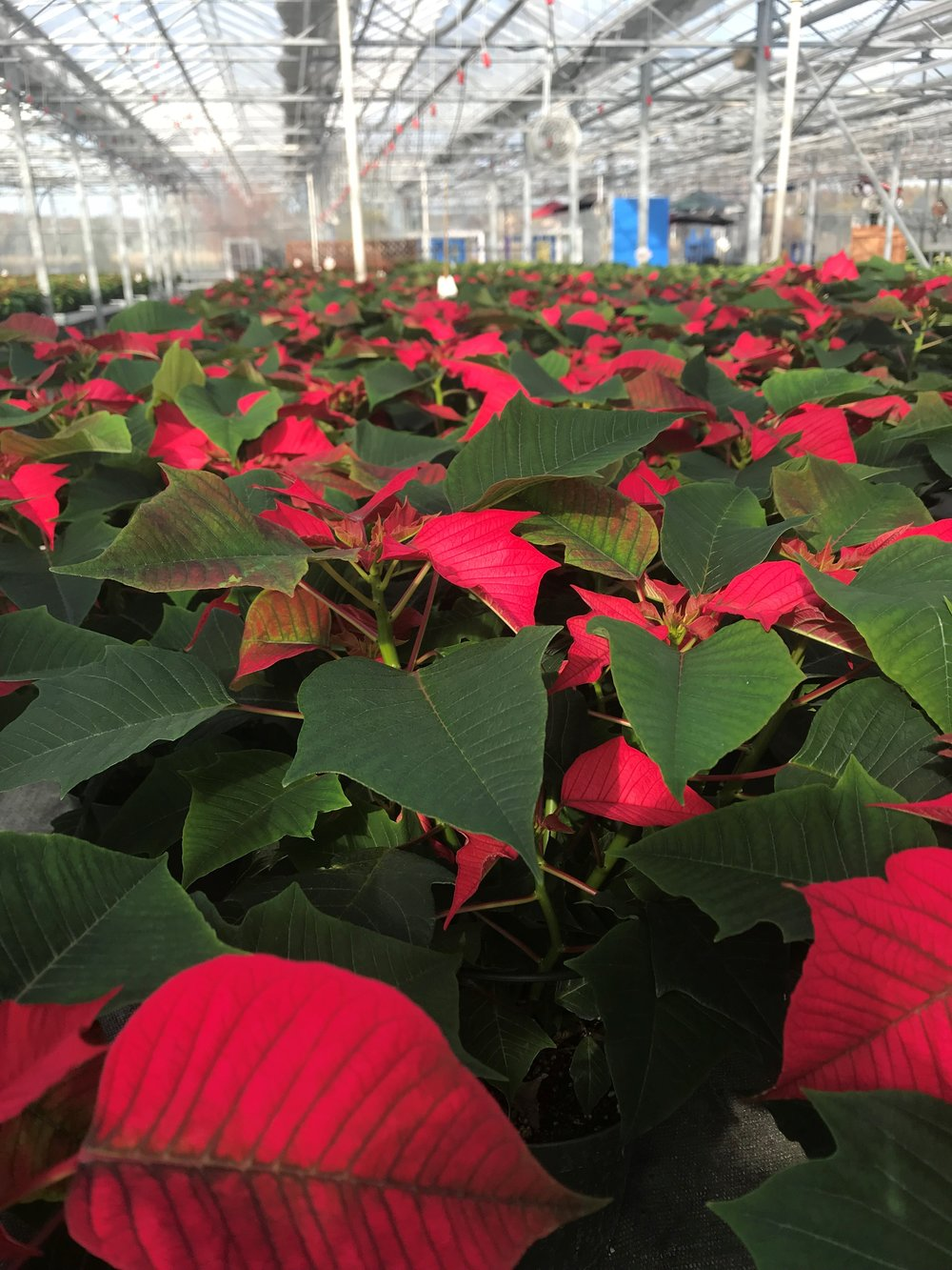 The greenhouses are packed with poinsettas