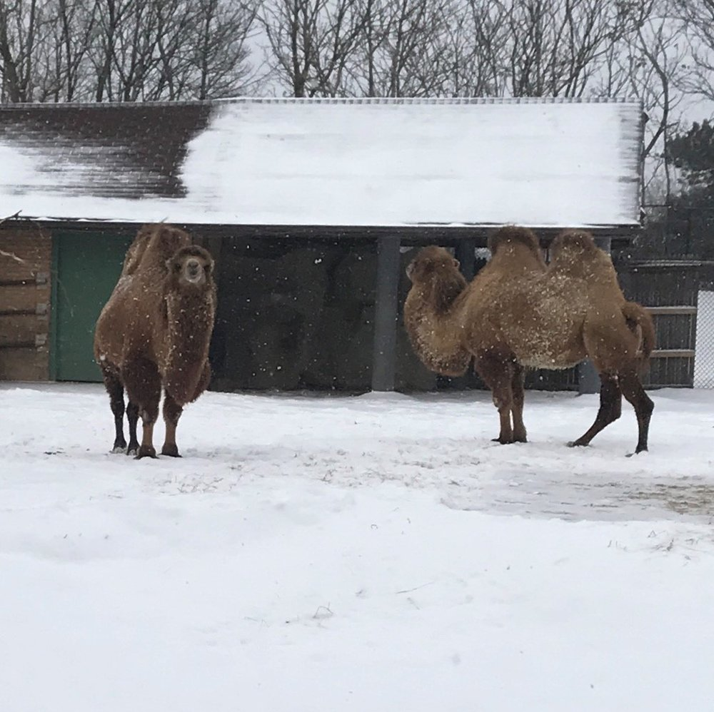 Bactrian Camels at Brookfield Zoo don't mind the snow