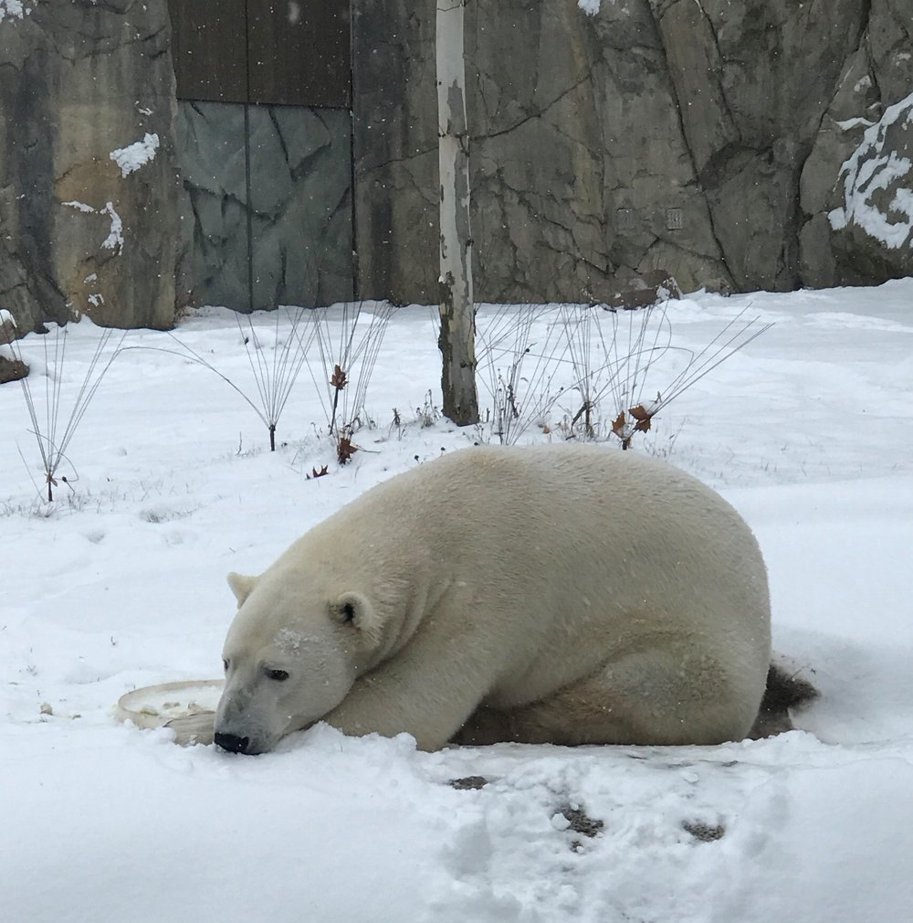 Chicago's winter...no big deal for Brookfield's Polar Bear