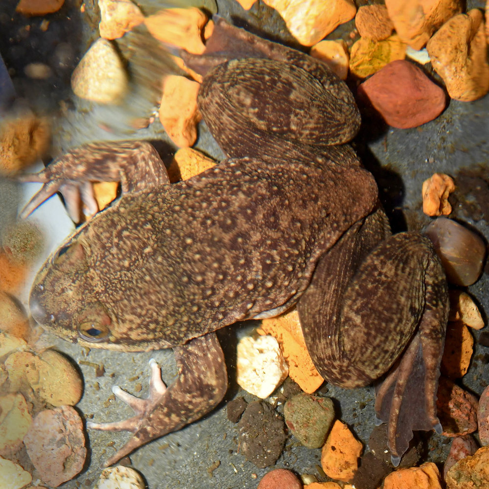 One of the only Togo Slippery Frogs being kept in captivity in the United States at Brookfield Zoo (photo courtesy of Chicago Zoological Society)