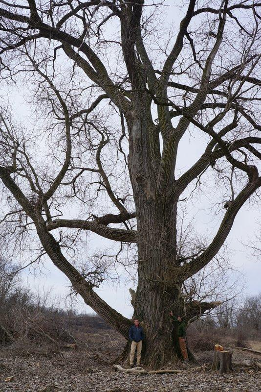 The state's biggest tree has been growing at the new Bald Hill Forest Preserve in Mt. Morris for 200 years (photo courtesy of Susan Stephens/WNIJ)