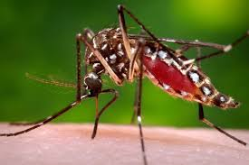 mosquito-2.jpg
