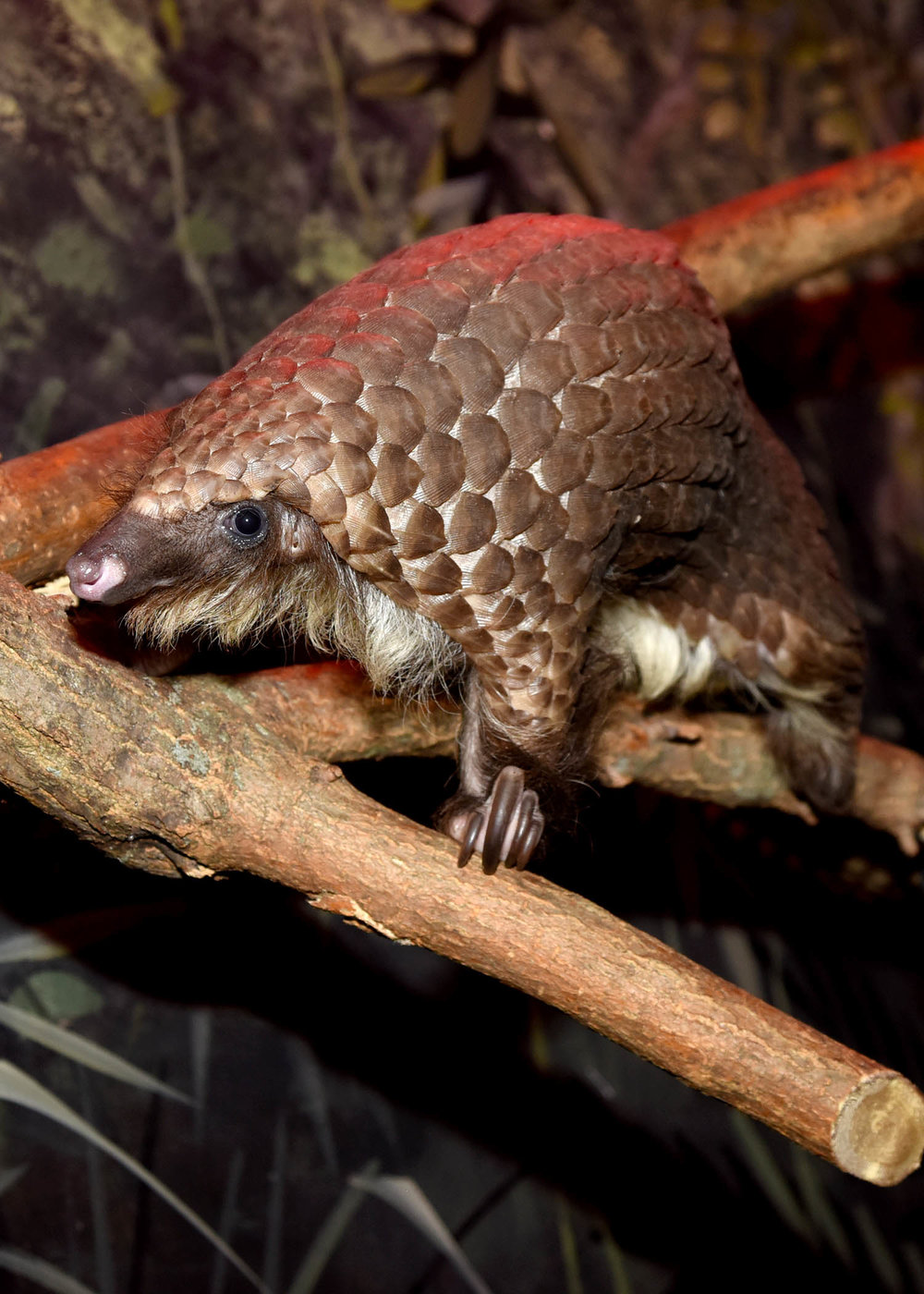 One of the white bellied pangolins at Brookfield Zoo. The scale covered mammal is one of the most heavily trafficked animals in the world (photo courtesy of Chicago Zoological Society/Brookfield Zoo)